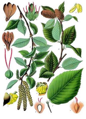 Ilustración de Aceite Esencial de Abedul Dulce