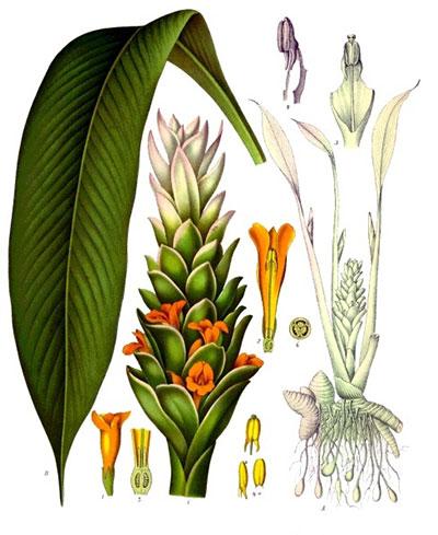 Ilustración de Aceite Esencial de Cúrcuma BIO