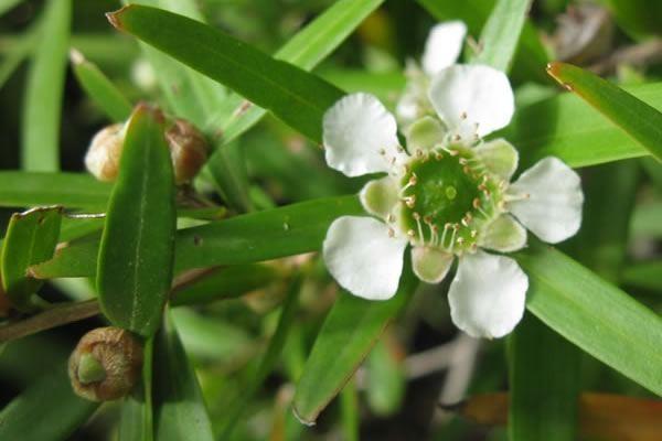 Árbol del té limón