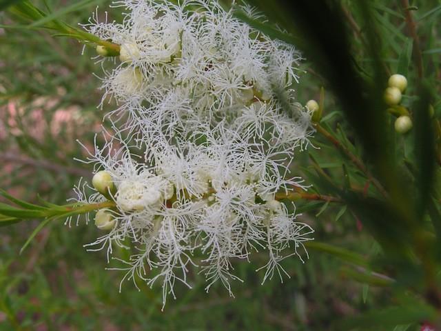 Árbol del té Australiano