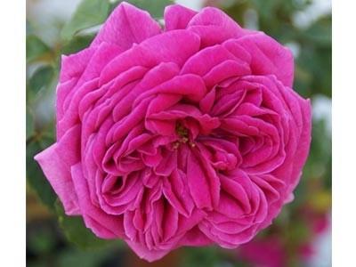 Aceite Esencial de Rosa Bourbonia