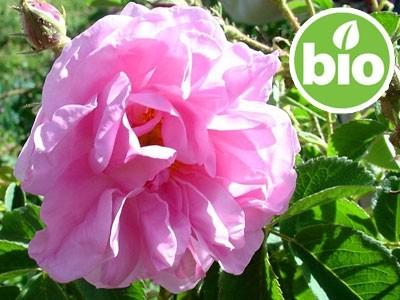 Aceite Esencial de Rosa Búlgara Otto BIO