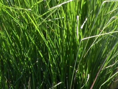 Aceite Esencial de Vetiver KS - Cultivado