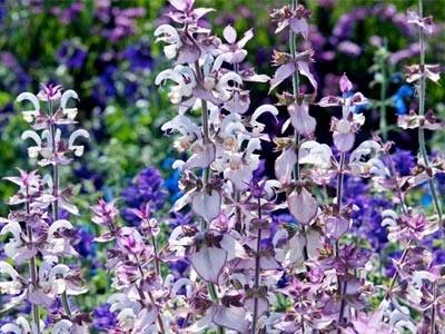 Salvia Sclarea - Salvia Romana