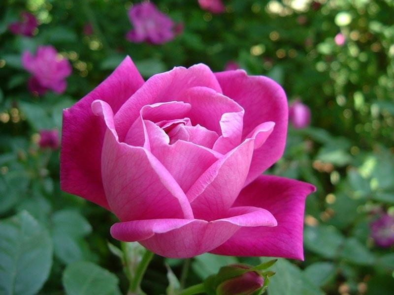 Esencia de Rosa