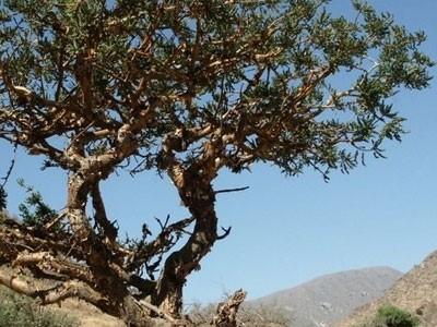 Extracto de Incienso (Boswellia Serrata)