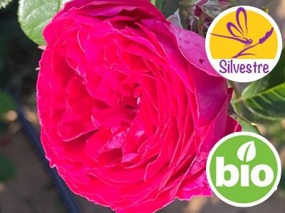 Hidrolato de Rosa Centifolia BIO