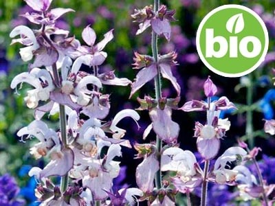 Salvia Romana BIO - Salvia sclarea