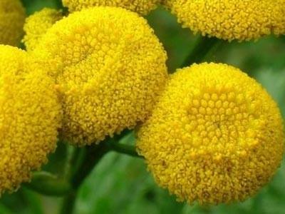 Aceite Esencial de Hierba Lombriguera - Tanaceto