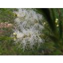 Aceite Esencial de Árbol del té Australiano