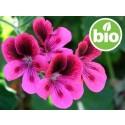 Aceite Esencial de Geranio Rosa BIO