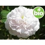 Hidrolato de Rosa Alba BIO