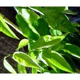 Aceite Esencial de Petitgrain Naranjo Amargo (Italia)