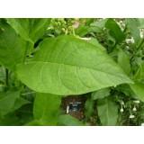 Aceite Esencial de Tabaco