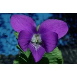Aceite Esencial de Violeta Absoluto
