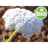 Aceite Esencial de Khella - Biznaga BIO