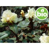Aceite Esencial de Rodoendro BIO