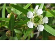 Aceite Esencial de Árbol del té limón
