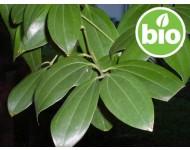 Aceite Esencial de Canela de Ceilán - Hojas BIO