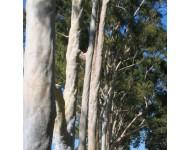 Aceite Esencial de Eucalipto Citriodora BIO