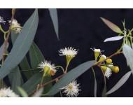 Aceite Esencial de Eucalipto Polibractea (Blue Malle) BIO