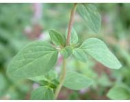 Aceite Esencial de Mejorana Española / Silvestre