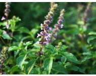 Aceite Esencial de Tulsi - Albahaca Sagrada