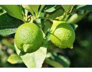 Aceite Esencial de Petitgrain Limonero