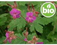 Aceite Esencial de Geranio Macrorrhizum Silvestre y BIO