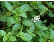 Aceite Esencial de Albahaca Dulce - Qt Linalol