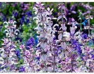 Aceite Esencial de Salvia Romana - Salvia sclarea