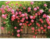 Fragancia de Rosa de jardín
