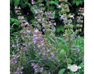 Hidrolato de Salvia Lavandulifolia / Española BIO