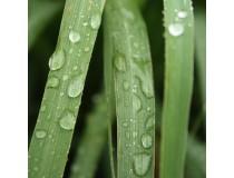 Lemongrass Quimitipo Rodinol