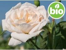 Aceite Esencial de Rosa Alba BIO