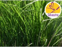 Aceite Esencial de Vetiver Golden - Silvestre