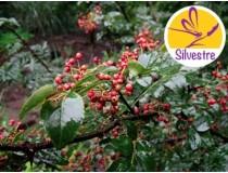 Aceite Esencial de Zanthoxylum - Silvestre