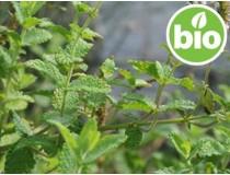 Hierbabuena BIO - Mentha Spicata