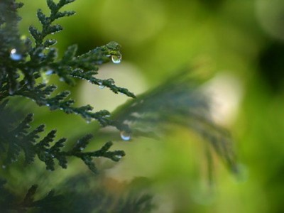 Aceite Esencial de Cedro hojas (Thuja)