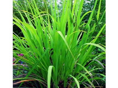 Aceite Esencial de Gingergrass