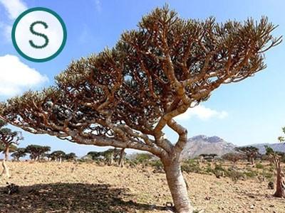 Aceite Esencial de Incienso Serrata - Silvestre