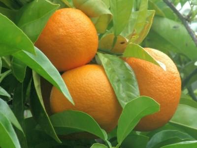 Aceite Esencial de Petitgrain Naranjo Amargo (Paraguay)