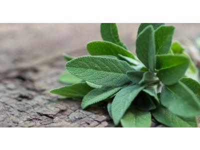 Aceite Esencial de Salvia Officinalis BIO - Croacia