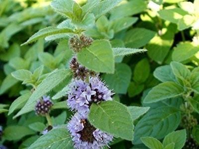 Aceite Esencial de Menta Arvensis - Mentha arvensis
