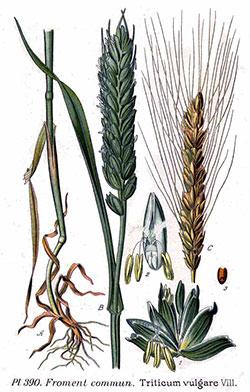 Ilustración de Aceite de Germen de Trigo Virgen de 1ª presión