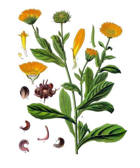 Ilustración de Aceite de Caléndula