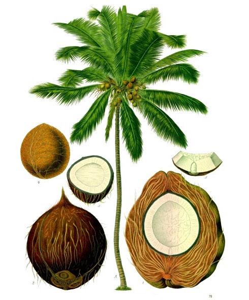 Ilustración de Aceite de Coco Refinado