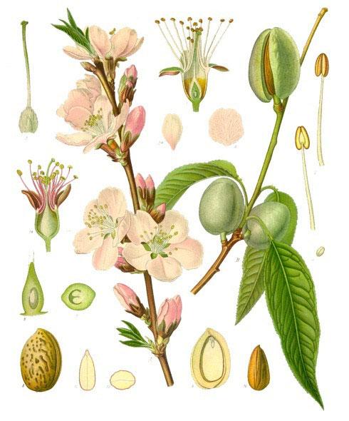 Ilustración de Aceite de Almendras Dulces